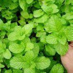 5 билки, които да засадите в ранна пролет
